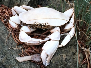 A remnant of a crab on Unnamed Island #3 in the San Juan Islands.